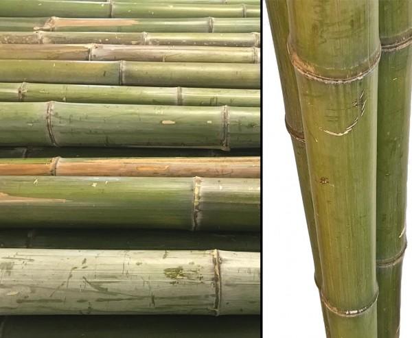 Bambusrohr Moso naturgrün, mit einem Durch. von ca. 5 bis 6cm, Länge ca. 180cm