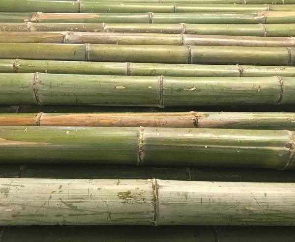 Bambusrohr Moso roh, naturgrün bis gelb braun, Durch. ca. 6 bis 7cm, Länge ca. 180cm