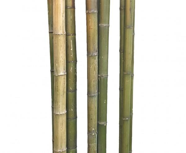 Bambusrohr 180cm naturfarben grün mit Durch. 3 bis 4cm, Moso unbehandelt