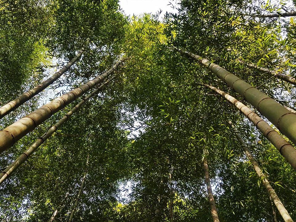 Bambuswald2