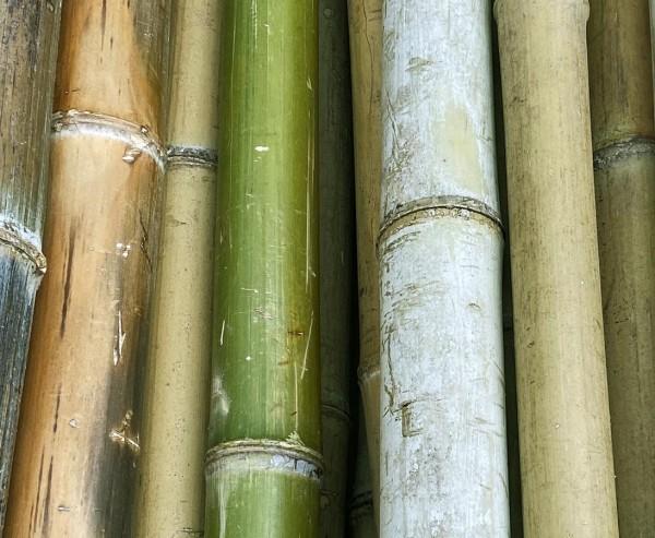 Bambusrohr Moso naturgrün bis gelb braun 180cm Durch. ca. 6 bis 7cm als B-Ware