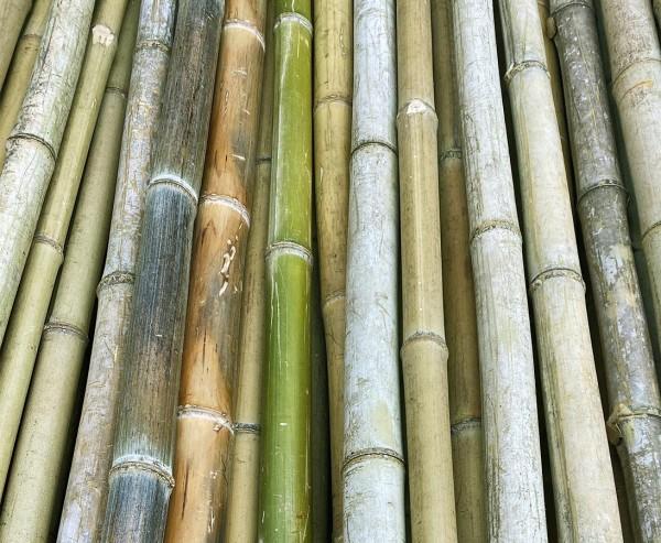 Bambusrohr grün naturfarben 180cm mit Durch. 4 bis 5cm als B-Ware