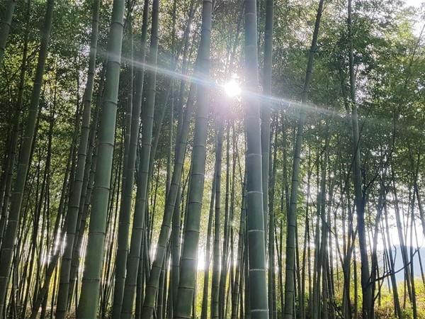 Bambuswald4