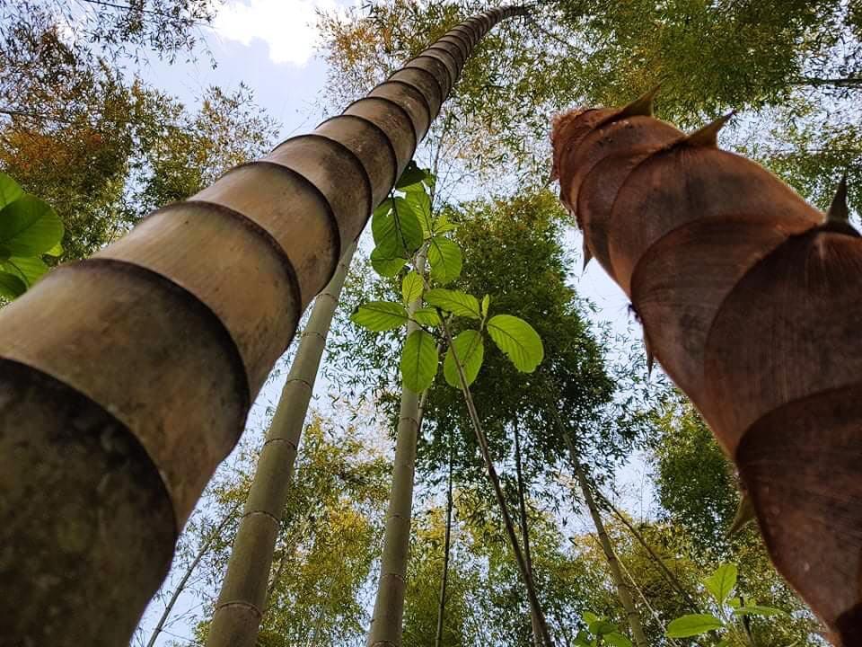 Bambuswald1